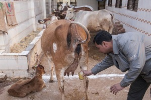 Cow Urine1